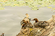 A family of common mergansers rest along the edge of Lake Washington.