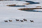 Bull and cow elk migrating north near Flat Creek in Jackson Hole, WY in winter.