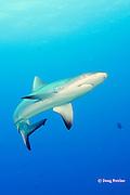 juvenile gray reef shark, Carcharhinus amblyrhynchos, Mahaiula, North Kona, Hawaii (the Big Island),  United States ( Central North Pacific Ocean )