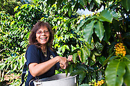 Lorie Obra, owner of Rusty's Hawaiian Coffee, picking coffee beans, known as cherry, at her coffee farm in an area called Cloud Rest in the district of Ka'u on the Big Island of Hawaii, USA, America