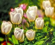 Tulips at Botanical Gardens