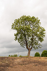 A tree on cleared gound, Wybourn Housing estate, Sheffield. The area is being regenerated