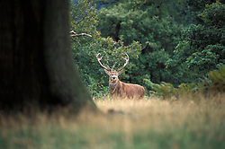 Red deer stag (Cervus elaphus) in woodland, Bradgate Park, Leicestershire, England, UK.