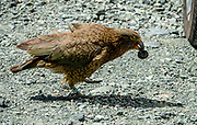 The kea (Nestor notabilis) is the world's only alpine parrot. In 1986, it received full protection under the Wildlife Act. The kea is one of ten endemic parrot species in New Zealand. Kea are known for their intelligence and curiosity, both vital to their survival in a harsh mountain environment. Kea can solve logical puzzles, such as pushing and pulling things in a certain order to get to food, and will work together to achieve a certain objective. They have been filmed preparing and using tools. Photographed at Homer Tunnel, Fiordland National Park, Southland region, South Island of New Zealand. In 1990, UNESCO honored Te Wahipounamu - South West New Zealand as a World Heritage Area.