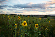 Field of sunflowers at sunset near Kilburn, North Yorkshire, England, UK.