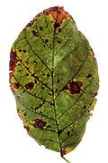 green leaf starting to change color