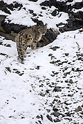 Leh - Sunday, Dec. 3, 2006: An adult male snow leopard (Unica unica) looks back while climbing a snowy slope in Hemis National Park, Ladakh. (Photo by Peter Horrell / www.peterhorrell.com)