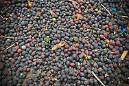 Detail of coffee beans after harvest, Buon Ma Thuot area, Vietnam, Southeast Asia