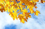 Golden-orange Sugar Maple leaves (Acer saccharum), autumn in Maine