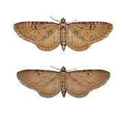 70.175 (1826)<br /> Triple-spotted Pug - Eupithecia trisignaria