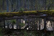 Moss covered makeshift bridge of fallen oak tree (Quercus robur) across river Vēršupīte, Kemeri National Park (Ķemeru Nacionālais parks), Latvia Ⓒ Davis Ulands | davisulands.com