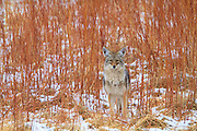 Yellowstone coyote stands in the willows.