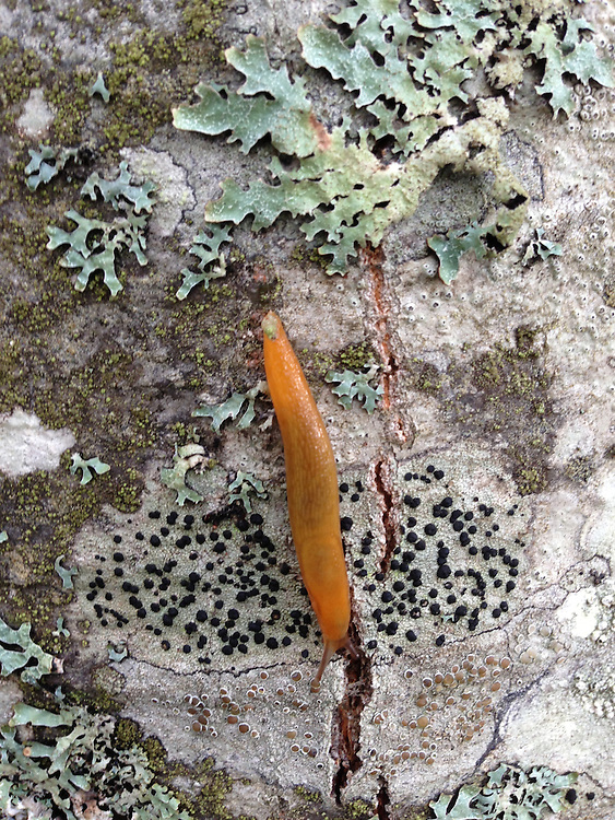Orange Slug on Birch Bark, Witherle Woods, Castine, Maine, US