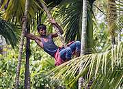 A local man is climbing the arcea palms for collecting betel nuts  in Kaziranga, Assam, India.