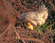 A08AY7 Free range hen with newly hatched yellow chick in woods