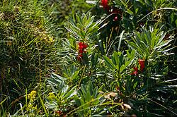 Rood peperboompje, Daphne mezereum