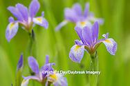 63899-05303 Blue Flag Iris (Iris versicolor) in wetland, Marion Co., IL