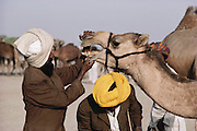 A camel inspection by a prospective buyer at the Mallinath Fair, one of the biggest cattle fairs of Rajasthan that lasts for two weeks. It is held annually in the desert near Tilwara, a village in Rajistahan (March-April). Highly popular breeds of cows, camels, sheep, goats and horses attract people not only from Rajasthan but also Gujarat and Madhya Pradesh. Rajasthan, India. .