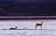 Reedbuck, Lake Nakuru, Kenya
