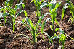 Newly planted mulched bed of Sweetcorn 'Zea Mays'.