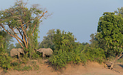 African elephants in South Luangwa National Park, Zambia