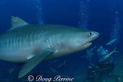 tiger shark, Galeocerdo cuvier, cruises past divers on shark dive at Shark Reef Marine Reserve, Beqa Passage, Viti Levu, Fiji ( South Pacific Ocean )