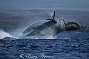 humpback whale, Megaptera novaeangliae, breaching, Puako, Hawaii Island, #4 in sequence of 6; caption must include notice that photo was taken under NMFS research permit #587