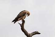 Portrait of a tawny eagle, Aquila rapax.