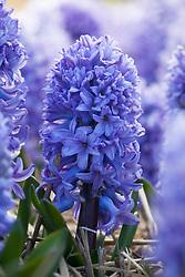 Hyacinthus orientalis 'Blue Passion'