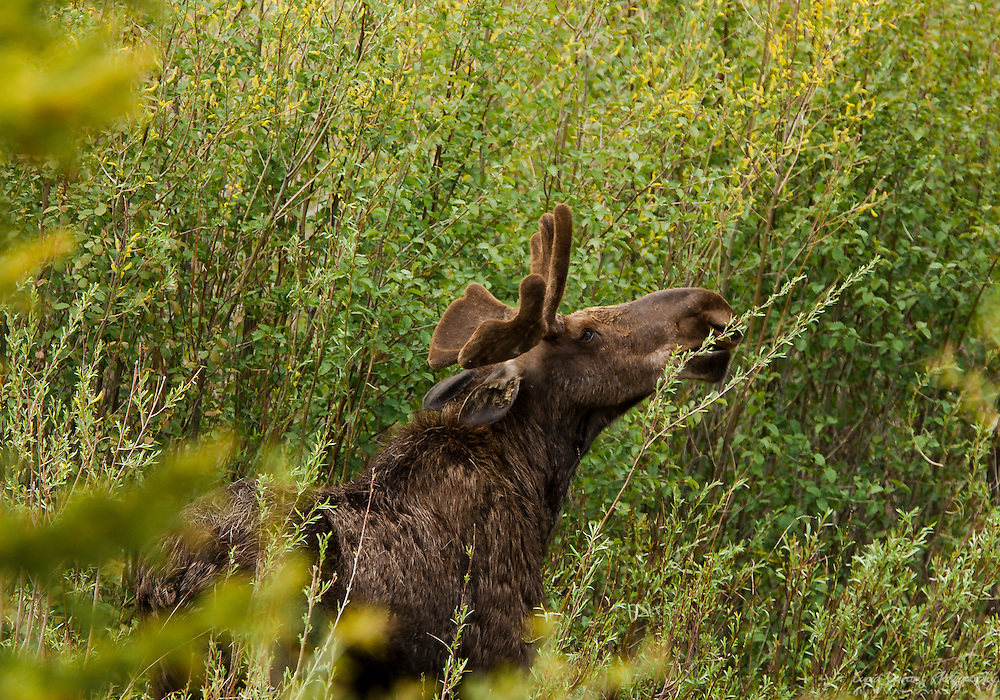 A bull moose with small, velvet-coated antlers enjoys a meal in the Tetons
