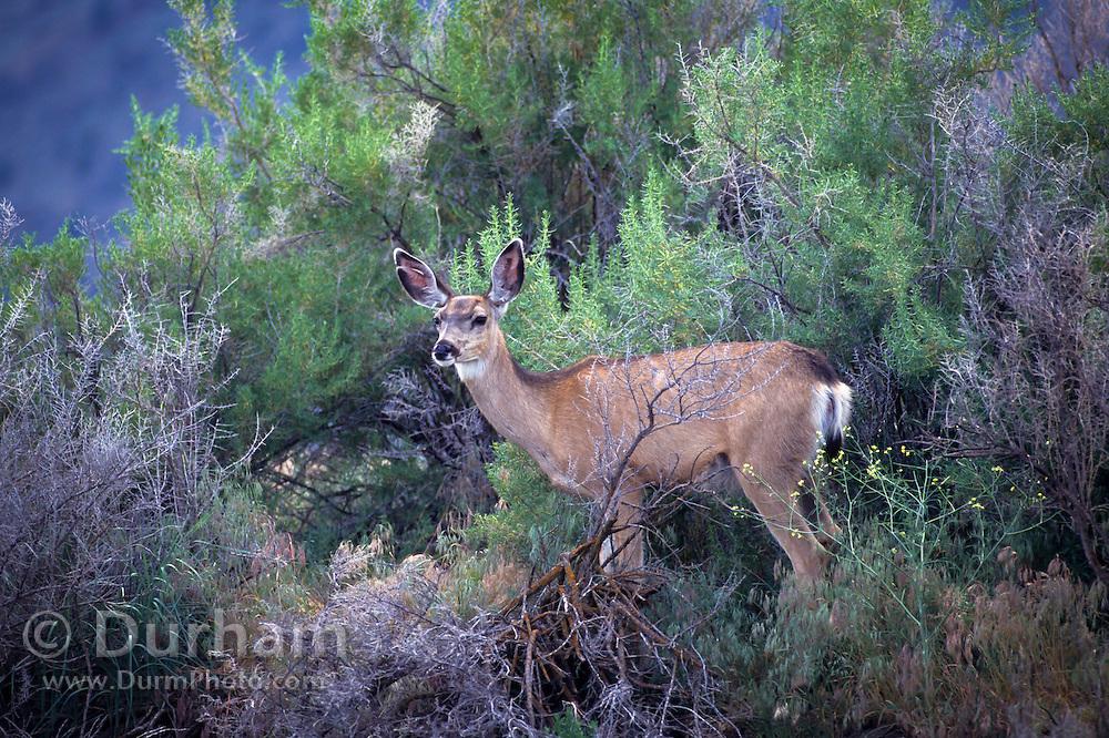 A mule deer doe (Odocoileus hemionus) in Malheur National Wildlife Refuge, Oregon.