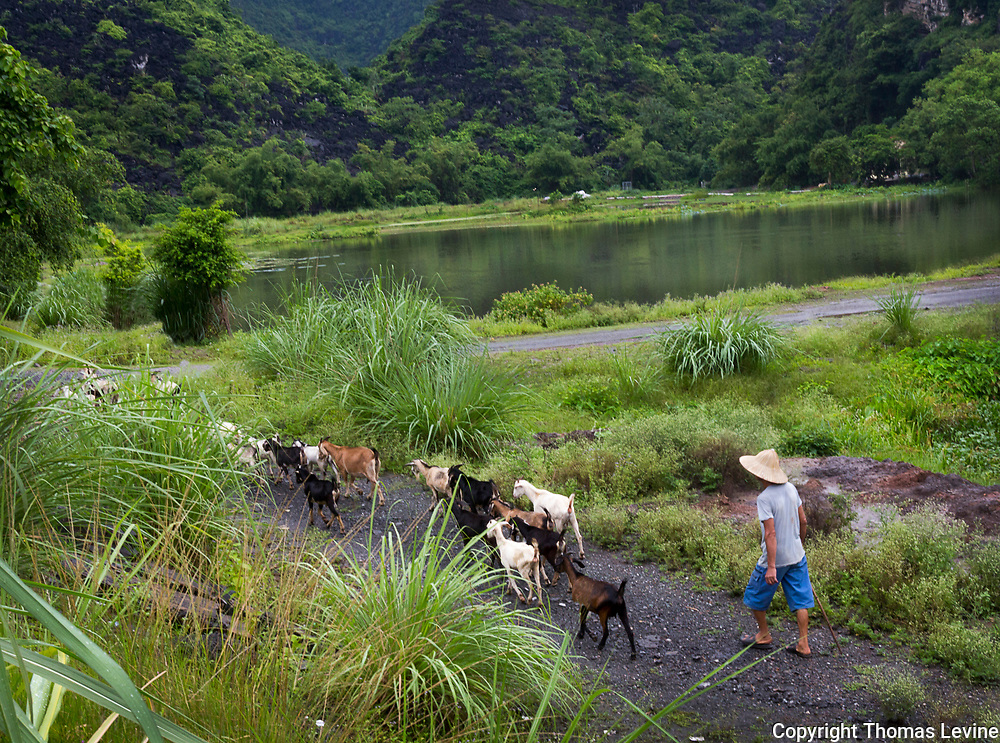 A goat herder with his goats at Ninh Binh provience. RAW to Jpg