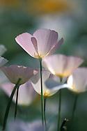 Mexican Gold Poppy, Eschscholzia mexicana, rare lavender phase; Picacho Peak, Arizona