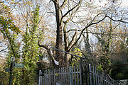 A woodland landscape where a protest is ongoing in Sydenham Hill Woods against the proposed felling of two 100+ year-old oak trees, threatened by Southwark Council because of their proximity to 'Pissarro's' footbridge whose renovation has been deemed necessary by the local authority, on 18th November 2020, in London, England. The Nunhead to Crystal Palace (High Level) railway once passed through the Wood and Impressionist artist  Camille Pissarro (1830–1903) famously painted a railway landscape from the bridge in the 1870s. Sydenham Hill Wood forms part of the largest remaining tract of the old Great North Wood, a vast area of worked coppices and wooded commons that once stretched across south London. The habitat is home to more than 200 species of trees and plants as well as rare fungi, insects, birds and woodland mammals.