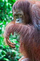 close up portrait of an orangutan at the sepilok orangutan wildlife sanctuary