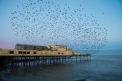 © Licensed to London News Pictures. 13/03/2017. Aberystwyth, Wales, UK. Thousands of starlings emerge in huge clouds of birds from their overnight roost underneath the seaside pier at daybreak with the full moon setting behind them over the sea in Aberystwyth on the west wales coast.The weather today is forecast to be warm  and sunny, with temperatures expected to reach 17º centigrade in places. Photo credit: Keith Morris/LNP