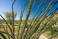 looking through Ocotillo branches in the Anza Borrego Desert, California, USA