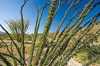 looking through Ocotillo branches in the Anza Borrego Desert, California, USA