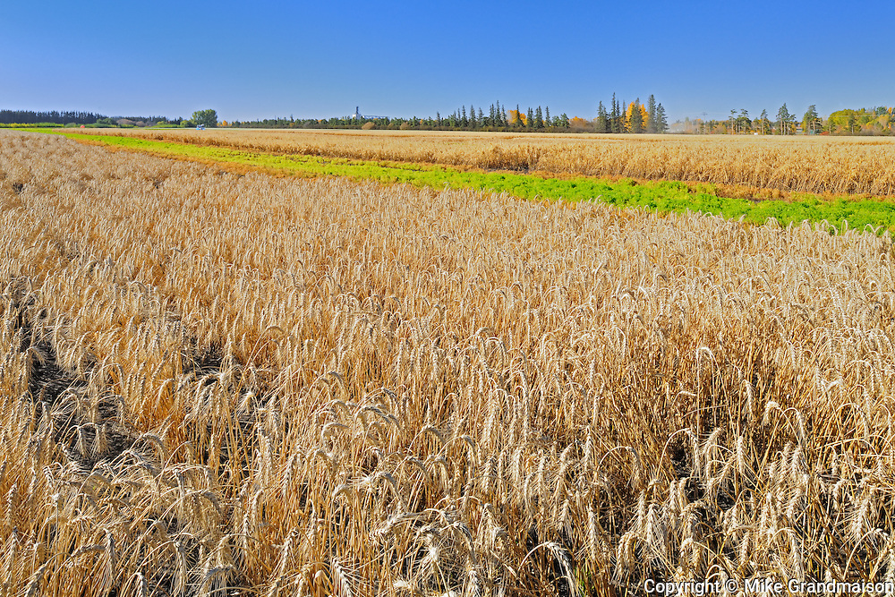 Spring White wheat. Field trial plots. Agriculture Canada Research Station<br /> Indian Head<br /> Saskatchewan<br /> Canada