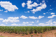 Field of sugarcane on farm under blue sky and cumulus cloud in tropical Tiaro, Queensland, Australia <br />