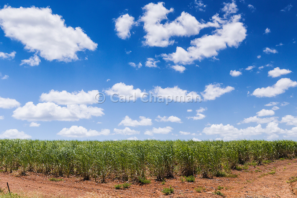 Field of sugarcane on farm under blue sky and cumulus cloud in tropical Tiaro, Queensland, Australia <br /> <br /> Editions:- Open Edition Print / Stock Image