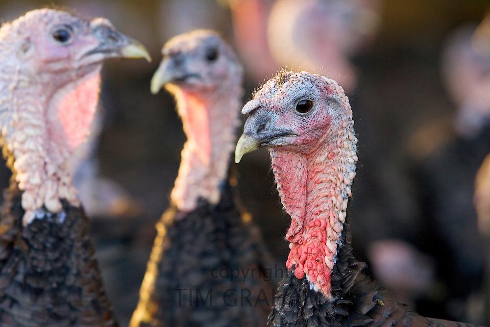 Free-range Norfolk bronze turkeys inside their barn after  roaming at Sheepdrove Organic Farm , Lambourn, England