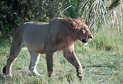 Lion walking with blood staing around head following a kill