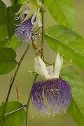 Bell-apple Passion Flower (Passiflora nitida)<br /> Iwokrama<br /> Guyana, South Amnerica