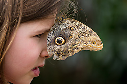 © Licensed to London News Pictures. 31/03/2015. London, UK. Eva Johnson with an owl butterfly on her face at the Sensational Butterflies exhibition at the Natural History Museum in London. The Sensational butterflies exhibition runs at the Natural History Museum in London from 2 April 2015 to 13 September 2015. Photo credit : Vickie Flores/LNP