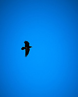 Common Raven. Page, Arizona. Image taken with a Nikon D300 camera and 18-200 mm lens.