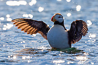 Horned puffin rises up and flaps its wings in a posturing motion