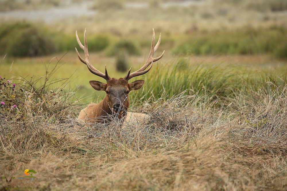 Bull elk lying in grass