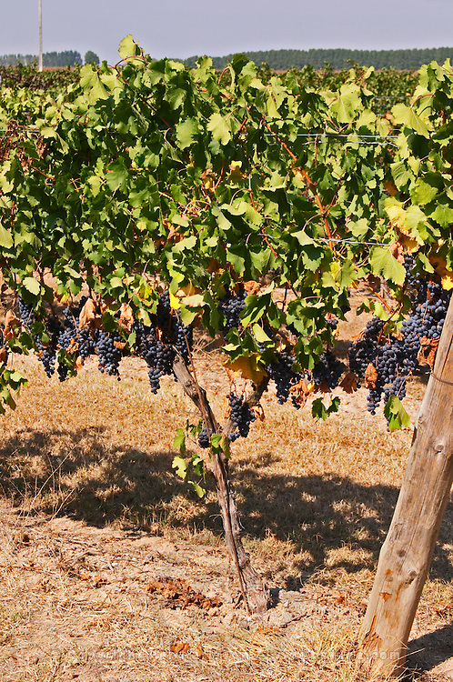 Cordon Royat pruned vines in the vineyard. Cabernet Sauvignon. Castel del Remei, Costers del Segre, Catalonia, Spain.