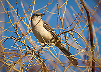 Northern Mockingbird in the Vines. Backyard Winter Nature in New Jersey. Image taken with a Nikon D2xs camera and 70-200 mm VR lens (ISO 200, 200 mm, f/2.8, 1/2500 sec)